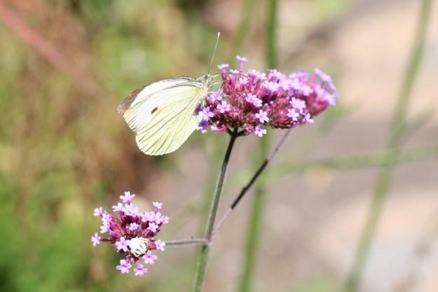 White butterfly on purple flower head