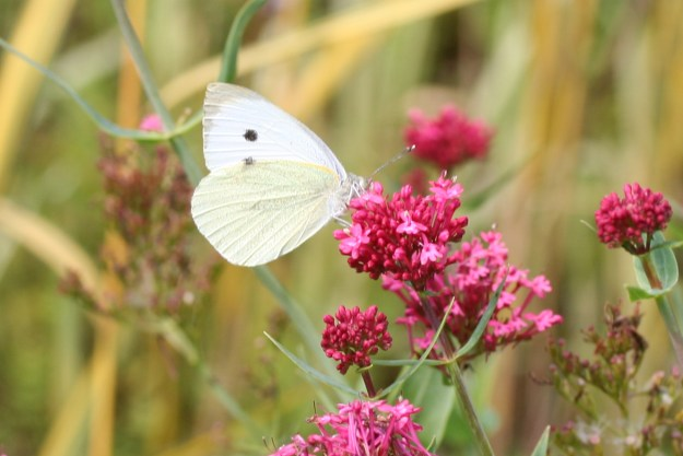 White butterfly with some black markings on bright pink flower head