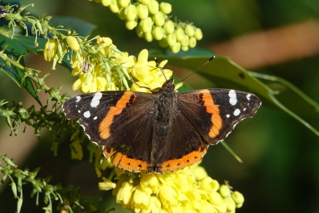 View of black, brown and reddish orange butterfly with white markings to wing tips whilst resting on yellow flower.