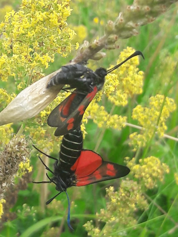 Red and Black spotted moths mating on Bedstraw