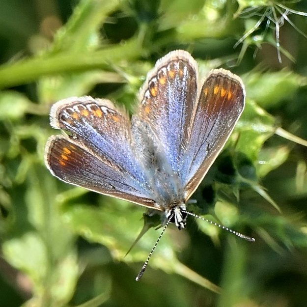 BlueButterfly with orange lunals resting on foliage with wings open