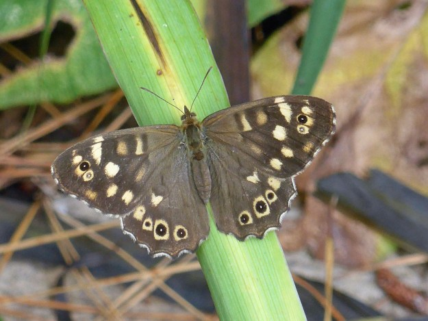 View of chocolate brown butterfly with cream markings on the wings
