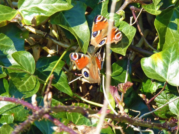 View of 2 red butterflies with blue, black white and yellow markings resting on a green plant