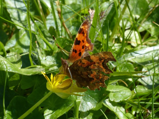 View of Orange butterfly with black markings resting on a yellow flower