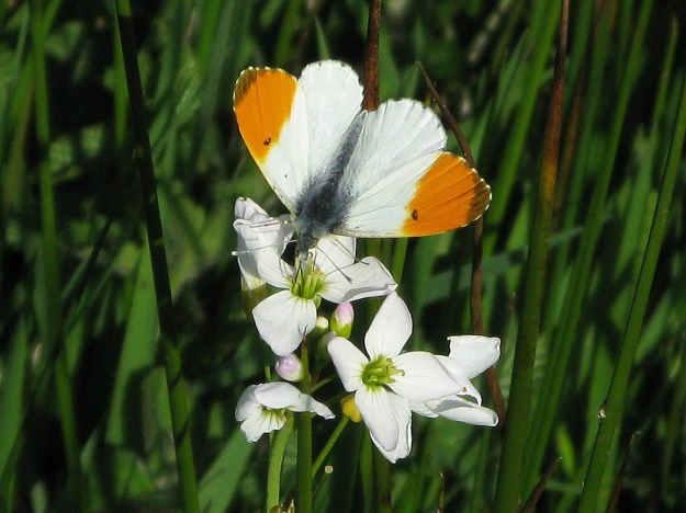 View of a white butterfly with orange wingtips resting on a white flower