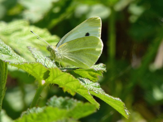 View of a greenish white butterfly resting on a green leaf