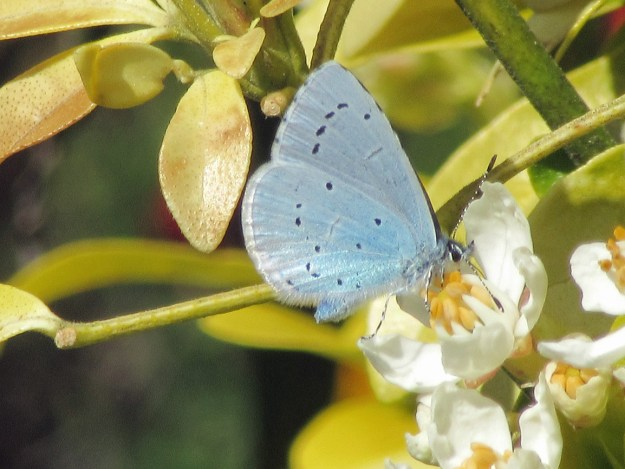 View of a pale blue butterfly lightly spotted with black and silver markings and nectaring on a white flower.