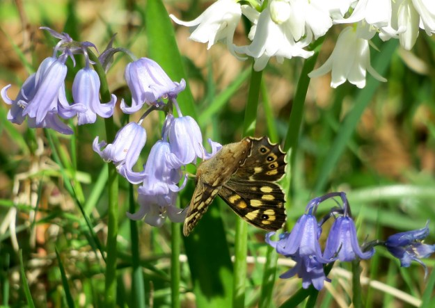 View of chocolate brown and cream butterfly nectaring on the flower of a Bluebell