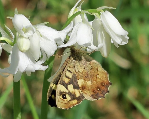 View of a chocolate brown and cream butterfly nectaring on a white flower