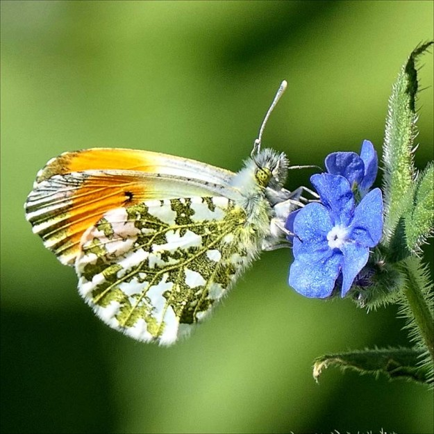 View of a white butterfly with green markings and orange tips to the wings nectaring on a blue flower.