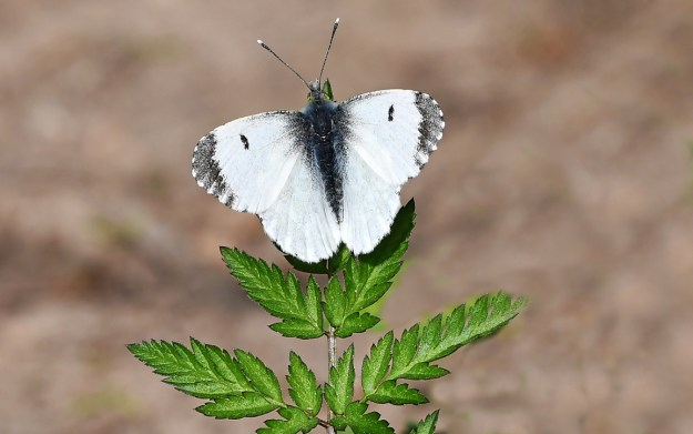 View of a white butterfly with black wing tips perching on a green plant
