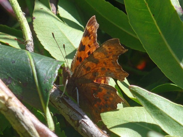 View of an orange butterfly with black markings resting near some green leaves.