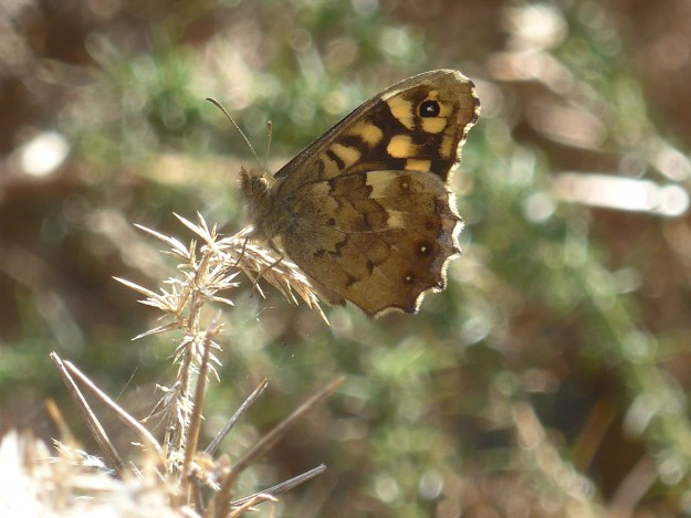 View of a perching chocolate brown and cream coloured butterfly