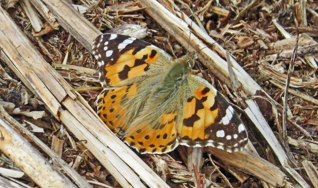 View of orange butterfly with black and white markings resting on the ground.