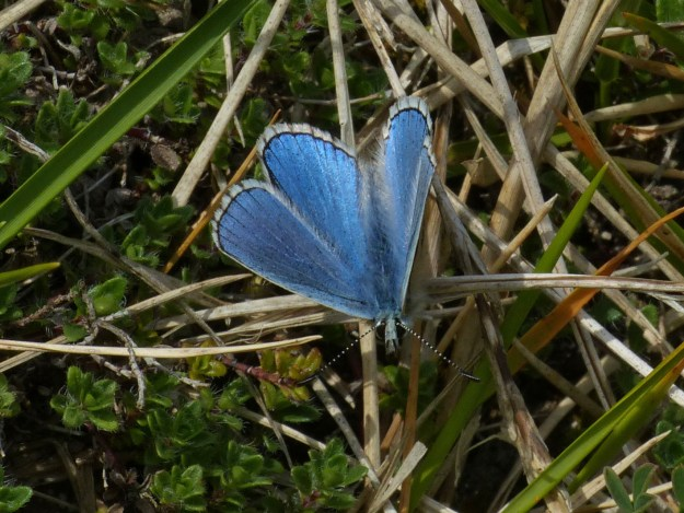 View of a resting blue butterfly