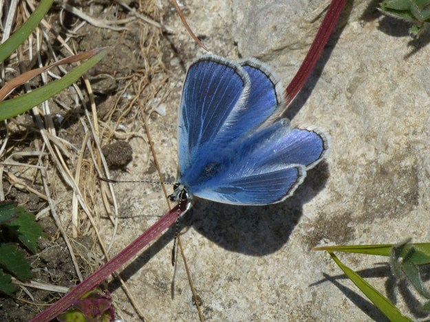 View of a resting bright blue butterfly