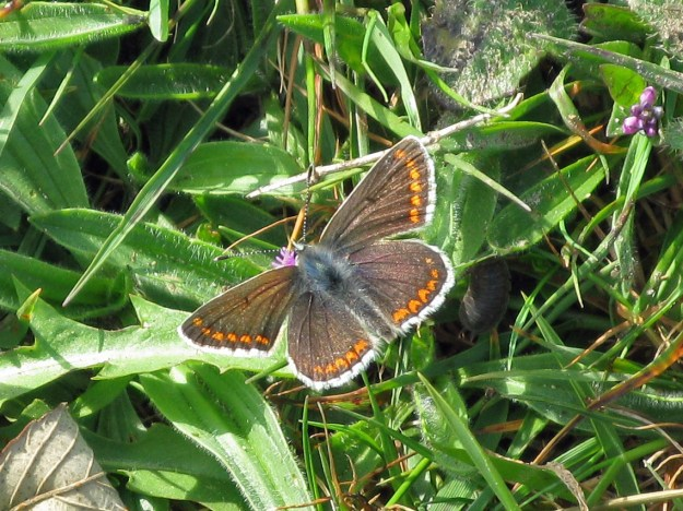View of a brown butterfly with some orange markings and white fringe to wings resting on a green plant