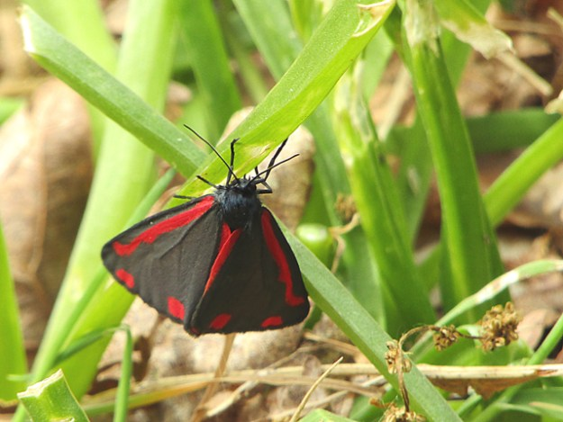 Red and Black moth resting on grass