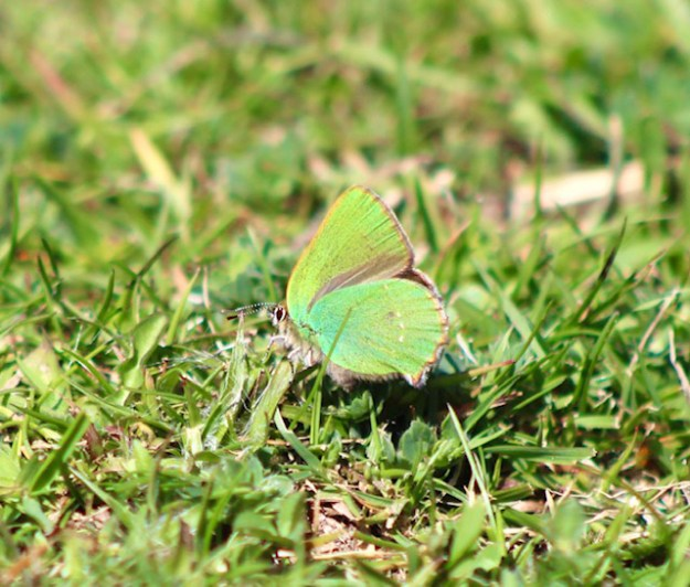 View of a green butterfly resting on the ground