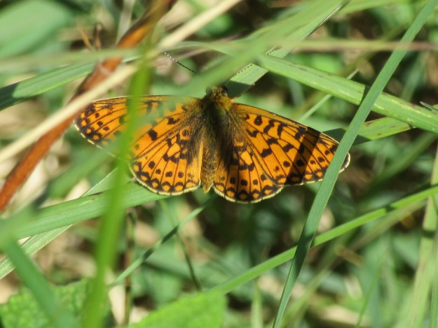 Orange butterfly with black markings resting on green vegetation