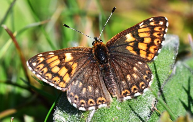 View of a brown and orange butterfly resting on a green leaf