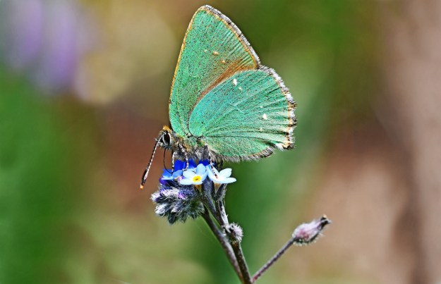 View of a green butterfly nectaring on a blue flower