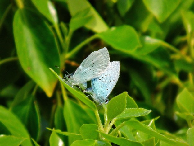 View of two pale blue butterflies with black spots on their wings mating on a green leaf