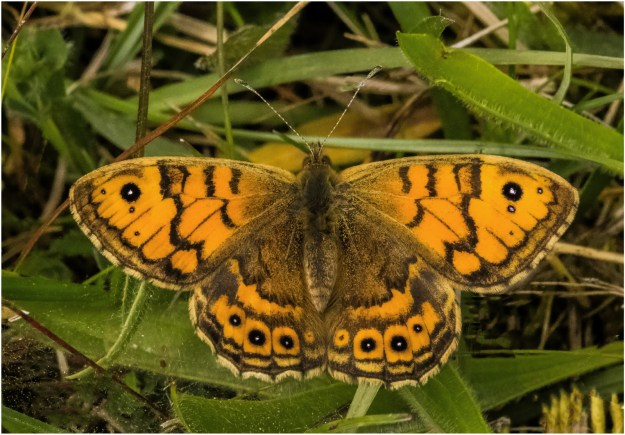View of a resting orange butterfly with blackish brown markings