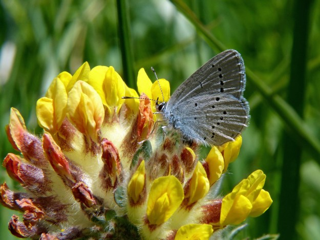 View of a light blue butterfly with some black spots nectaring on the yellow flower of Kidney Vetch
