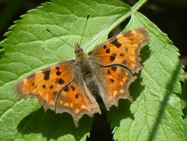 View of an orange butterfly with black and yellowish markings on the wings whilst resting on a green leaf