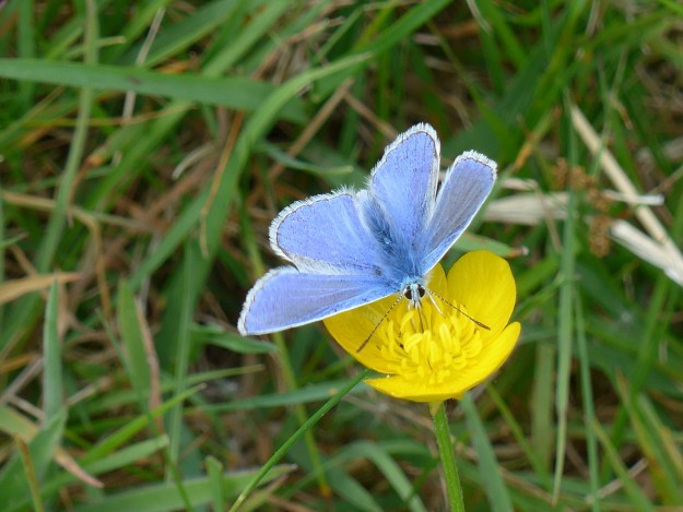View of a blue butterfly nectaring on a yellow flower