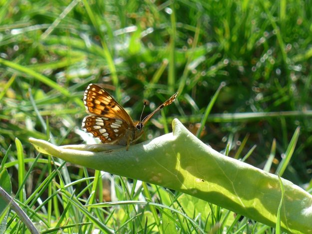 View of brown and orange butterfly with white markings resting on a green leaf