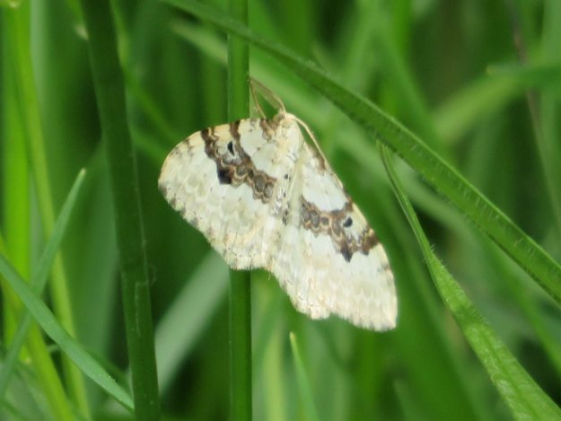 white moth with irregular brown cross-band on forewings