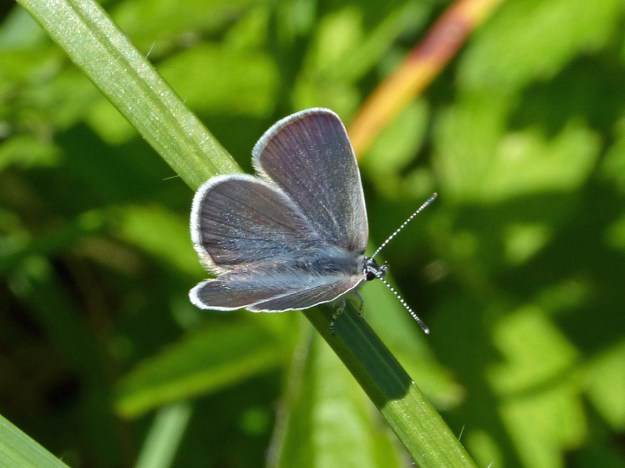 View of a dark blue butterfly resting on some green vegetation