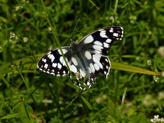 View of a black and white butterfly resting on a green plant