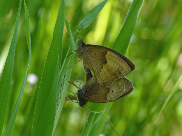 Brown butterflies mating on green vegetation