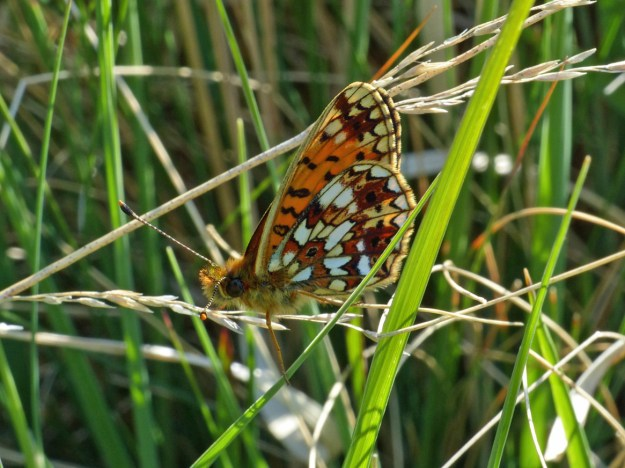 Orange butterfly with black and white markings nestling amongst some green vegetation