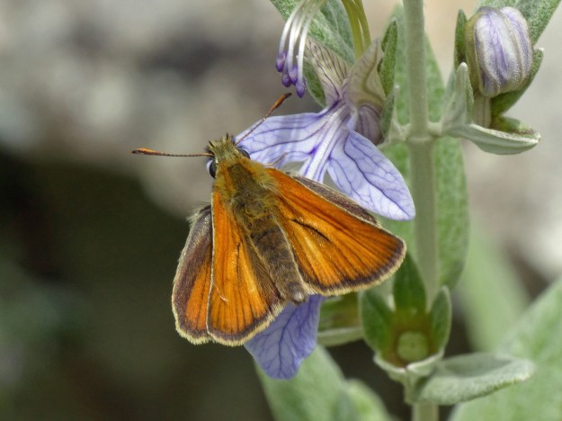 Golden orange and brown butterfly nectaring on a pale blue flower