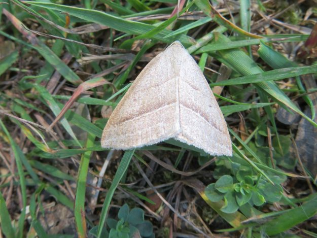 Grey brown moth with two cenral silvery crosslines on forewings