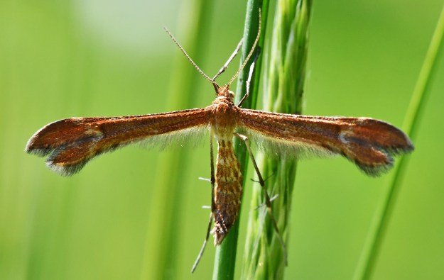Thin winged golden brown moth
