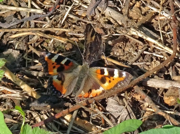Orange and black butterfly with yellow and blue markings resting on the ground