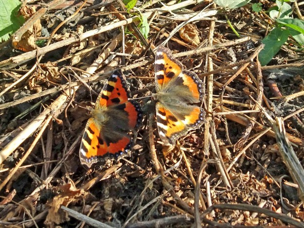 Two orange and black butterflies with yellow and blue markings resting on the ground