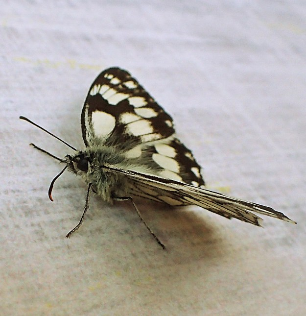 Black and white butterfly resting on a chair
