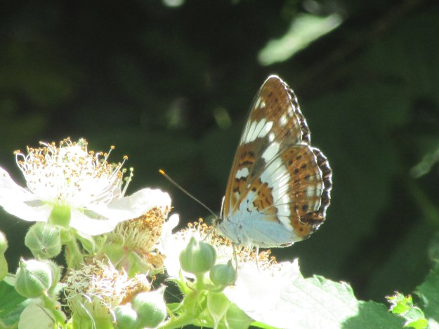 Brown, and white butterfly with some black and orange markings nectaring on a white flower