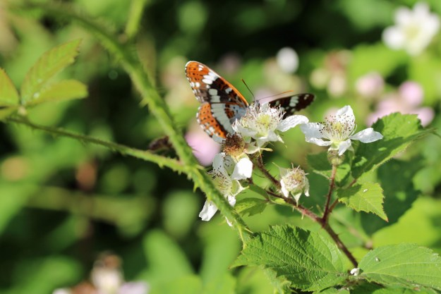 Dark brown, white and orange butterfly nectaring on a white bramble flower