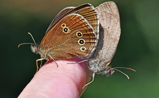 Two butterflies, one brown with yellow rings and the other greyish brown resting on a persons finger