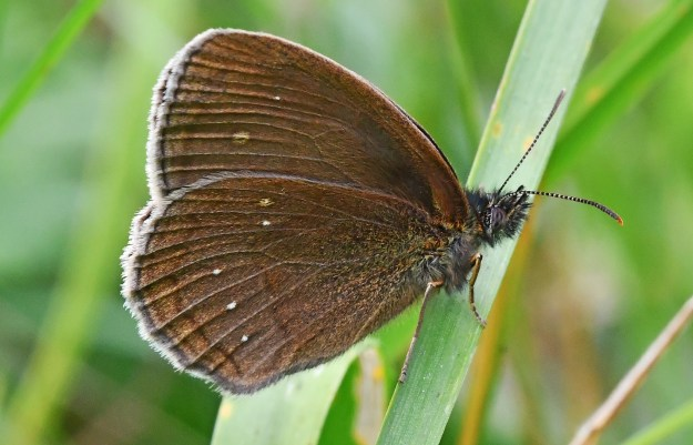 Brown butterfly with some white spots and white fringe to the wings resting on a green plant