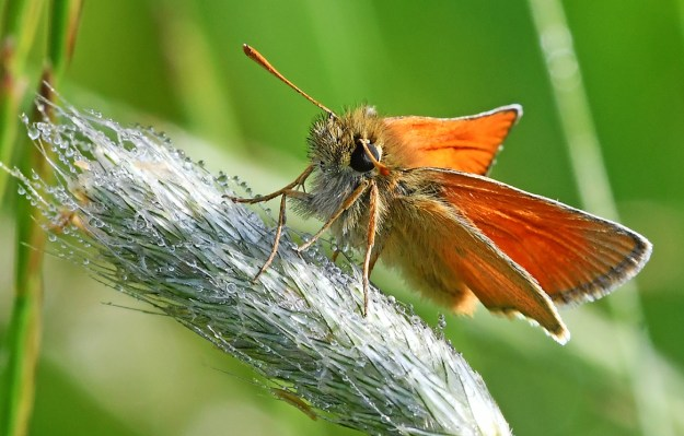 Golden orange butterfly resting on a grass seed head