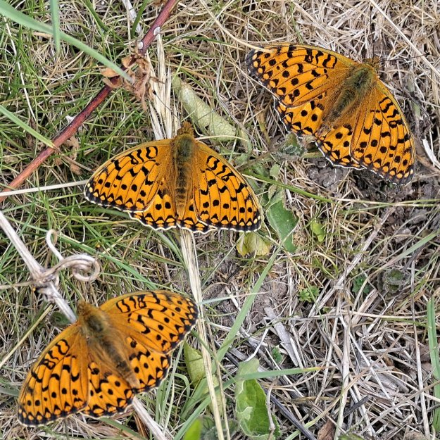Three resting orange butterflies with black markings