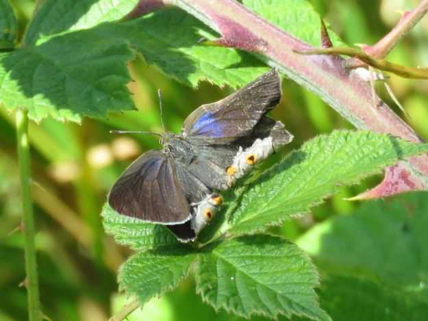 A brownish purple and blue butterfly resting on a green leaf